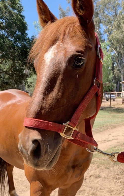 Nakita_quarter_horse_mare.JPG